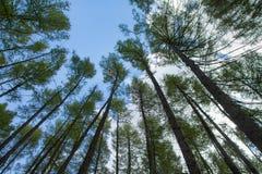 森林杉树 库存图片