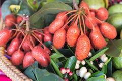 森林果子, Uvaria rufa布卢姆果子,危险的草本罕见和 免版税库存图片