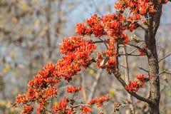 森林柚木树树的火焰 库存图片