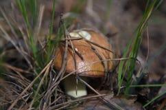 森林查出的蘑菇白色 免版税库存图片