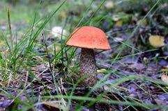 森林查出的蘑菇白色 库存照片