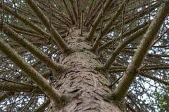 森林查寻杉树的树干和的分支 库存照片