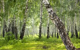 桦树树丛在森林里 图库摄影