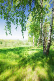 森林桦树 库存图片