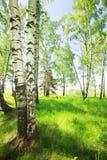 森林桦树 图库摄影