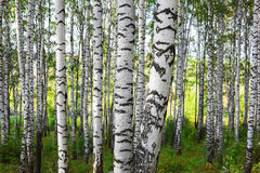 森林桦树 免版税图库摄影
