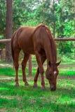 森林棕色马 免版税库存图片