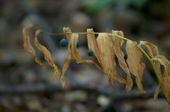 森林植物用黑莓果 免版税库存图片