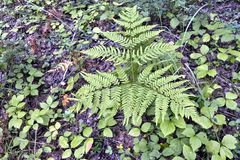 森林植物蕨 免版税图库摄影