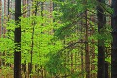 森林槭树杉木春天 库存照片