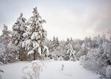 森林横向杉木冬天 免版税库存图片