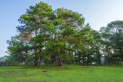 森林横向杉木 免版税库存照片