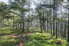 森林横向杉木 免版税图库摄影