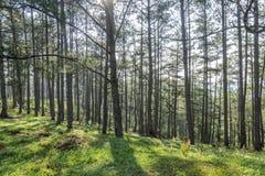 森林横向杉木 免版税库存图片