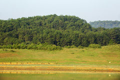 森林横向杉木 库存图片