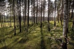 森林横向,在夏天木头的阳光 免版税库存照片