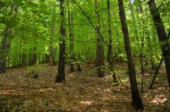 森林橡木 免版税图库摄影