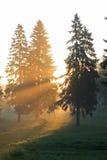 森林毛皮日出结构树 免版税图库摄影