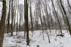 森林没有叶子和很多雪的冬天 库存图片