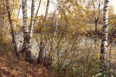 森林湖湖边的桦树树丛有Instagram样式的 免版税库存照片