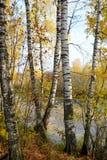 森林湖湖边的桦树树丛  免版税图库摄影