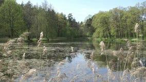 森林湖的全景有树的与年轻春天叶子和藤茎在前景 影视素材