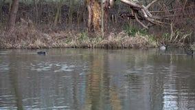 森林湖的风景 在水的鸭子在寒冷冬天太阳 股票录像