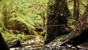 森林溪在强大树中流动 股票视频