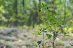 森林灌木草甸草甸越桔越桔路树生气勃勃 库存图片