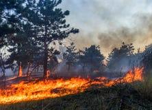 森林火灾 在野火、污染和很多烟以后的被烧的树 库存图片