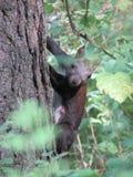 森林灰鼠 库存图片
