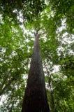 森林热带的雨豆树 免版税图库摄影