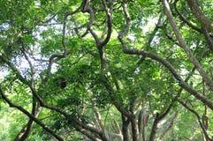 森林热带的雨豆树 库存图片