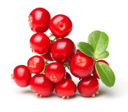 森林狂放的莓果越橘 免版税库存图片