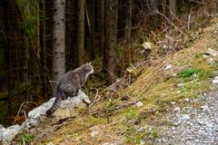 森林猫狩猎 免版税图库摄影