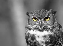 森林猫头鹰 免版税库存图片