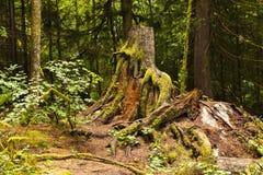 森林班夫国家公园加拿大 免版税库存图片