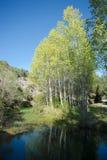 森林白杨树 库存图片