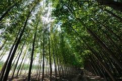 森林白杨树 图库摄影