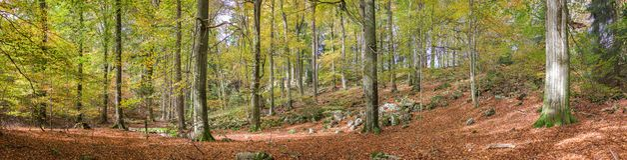 森林的全景照片在秋天树荫下在埃菲尔山,德国 免版税图库摄影