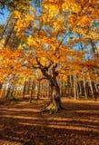 森林的国王 库存照片