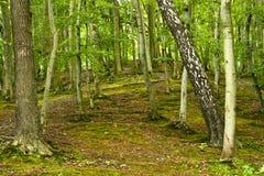森林的深度 图库摄影