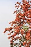 森林的火焰,布泰亚monosperma O.Ktze,豆科Papilio 图库摄影