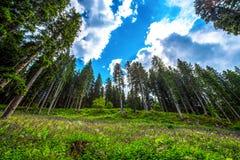 森林的美丽的冷杉木在与云彩的蓝天,意大利下 库存照片