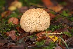 森林真菌硬皮病vulgare 图库摄影