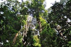 森林研究所马来西亚 免版税库存照片