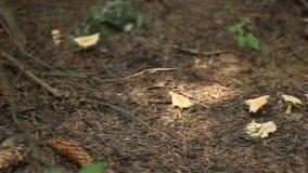 森林碎蘑菇 股票视频