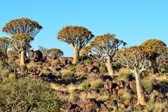 森林纳米比亚颤抖结构树 免版税库存照片
