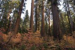 森林美国加州红杉 免版税库存照片
