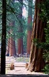 森林美国加州红杉 免版税库存图片
